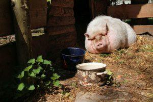 Schwein am Sonnen